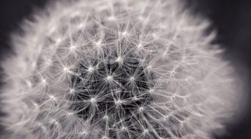 dandelion-2295441_1920